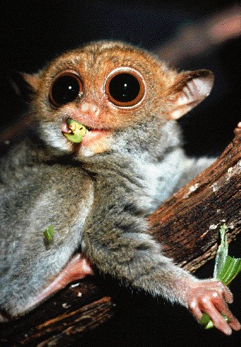 about the tarsier the tarsier